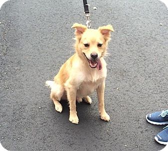 Spitz (Unknown Type, Small) Mix Dog for adoption in Acworth, Georgia - Solo