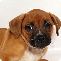 Adopt A Pet :: Nettie Boxer Mix - St. Louis, MO