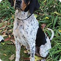 Treeing Walker Coonhound/Bluetick Coonhound Mix Dog for adoption in Santa Rosa, California - Freddy