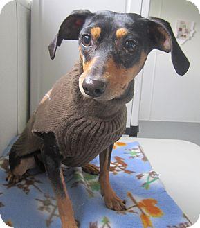 Miniature Pinscher Dog for adoption in Holton, Kansas - Twitch