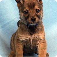 Adopt A Pet :: SALVADOR - Westminster, CO