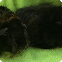 Adopt A Pet :: Buckey - Steger, IL