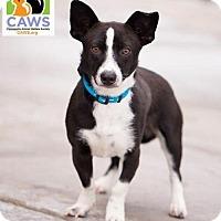 Adopt A Pet :: Bogart - Salt Lake City, UT