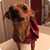 Adopt A Pet :: Felicity in GA - Sandown, NH
