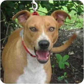 Terrier (Unknown Type, Medium)/Labrador Retriever Mix Dog for adoption in Kingwood, Texas - Sadie