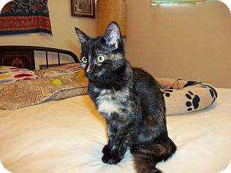 Domestic Mediumhair Kitten for adoption in San Pedro, California - Mary Ann