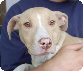 Pit Bull Terrier Mix Dog for adoption in Brooklyn, New York - Augusto
