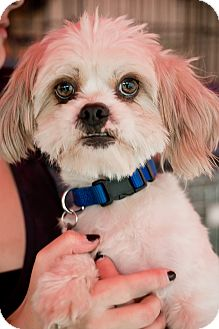 Shih Tzu/Lhasa Apso Mix Dog for adoption in North Hollywood, California - Ringo