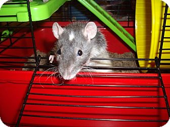 Rat for adoption in Greenwood, Michigan - Thyme