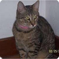 Domestic Shorthair Cat for adoption in Salem, Ohio - Tequi