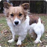 Adopt A Pet :: Foxy - Mocksville, NC