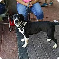Adopt A Pet :: Vera - Tempe, AZ
