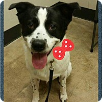 Adopt A Pet :: Ceasar - West Hartford, CT