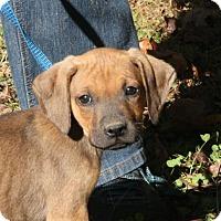 Adopt A Pet :: Raj (POM-CR) - Brattleboro, VT