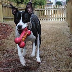Photo 2 - Pit Bull Terrier/Labrador Retriever Mix Dog for adoption in Alpharetta, Georgia - Gonzo