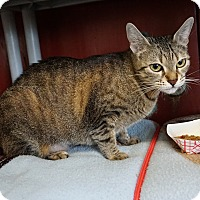 Adopt A Pet :: Spider - Bengal Mix - Mt Vernon, NY
