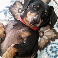 Adopt A Pet :: Chloe - Marcellus, MI