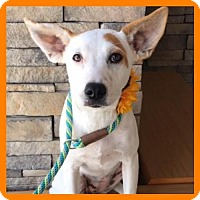 Australian Cattle Dog Mix Dog for adoption in Fort Worth, Texas - Leia--Courtesy Listing