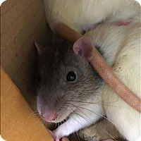 Rat for adoption in Madison, New Jersey - Putzie