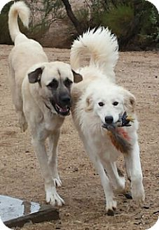 Anatolian Shepherd Puppy for adoption in Scottsdale, Arizona - Ike