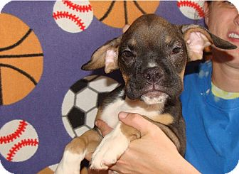 Beagle/Boxer Mix Puppy for adoption in Oviedo, Florida - Diamond