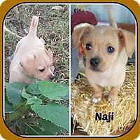 Adopt A Pet :: NAJI - Malvern, AR