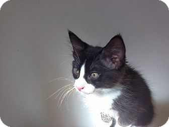 Domestic Mediumhair Kitten for adoption in wyoming valley, Pennsylvania - Newman