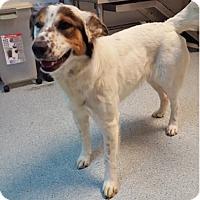 Australian Cattle Dog Mix Dog for adoption in Midvale, Utah - sharna