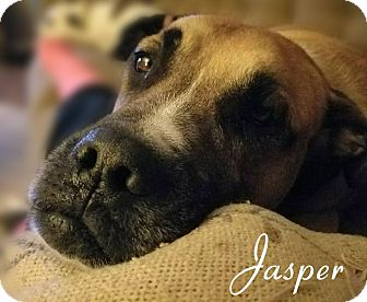 Bullmastiff/Boxer Mix Dog for adoption in Columbia, Tennessee - Jasper