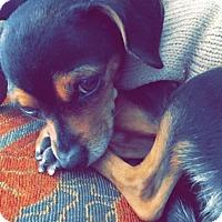Chihuahua Mix Dog for adoption in Monrovia, California - Mamas