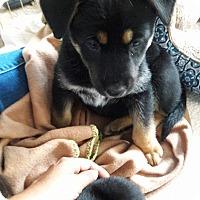 German Shepherd Dog/Husky Mix Puppy for adoption in LAKEWOOD, California - Lizzy