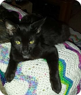 Domestic Shorthair Kitten for adoption in Baltimore, Maryland - .Vader