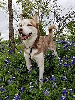 Siberian Husky Mix Dog for adoption in Sugar Land, Texas - Malachi