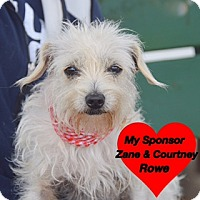 Adopt A Pet :: Mini Pearl - San Leon, TX