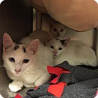 Adopt A Pet :: Mr. Meowgi - Kansas City, MO