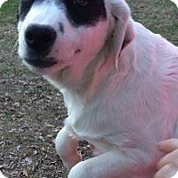 Adopt A Pet :: Holly meet me 2/3 - Manchester, CT