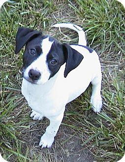 ...   Adopted Puppy   Middletown, RI   Jack Russell Terrier/Pointer Mix