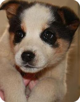 Australian Shepherd/Border Collie Mix Puppy for adoption in Oswego, Illinois - I'M ADPTD Valntne's Sweeties T