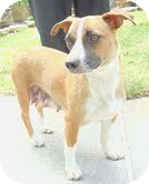Feist/Terrier (Unknown Type, Small) Mix Dog for adoption in Windham, New Hampshire - Maddie