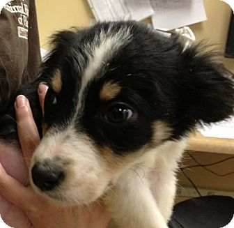 Australian Shepherd Mix Puppy for adoption in Lancaster, Ohio - Allie