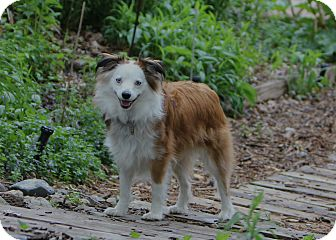 Australian Shepherd/Corgi Mix Dog for adoption in Elk River, Minnesota - Jasper