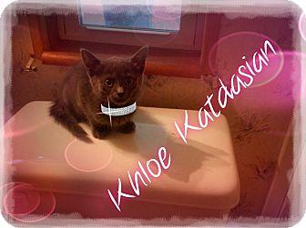 Domestic Shorthair Cat for adoption in Washington, D.C. - Khloe Katdasian