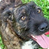 Wirehaired Fox Terrier/Terrier (Unknown Type, Medium) Mix Dog for adoption in Oakland, Arkansas - Victoria