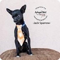 Adopt A Pet :: Jack Sparrow - Shawnee Mission, KS