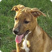 Adopt A Pet :: Cutie Patootie - Phoenix, AZ