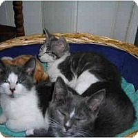 Adopt A Pet :: Kittens - Riverside, RI