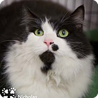 Adopt A Pet :: Nicholas - Merrifield, VA
