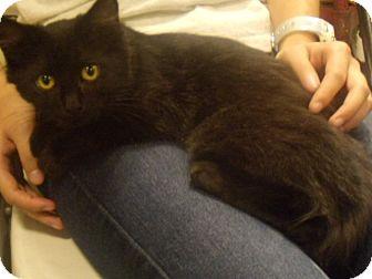 Domestic Mediumhair Kitten for adoption in Buford, Georgia - Tarzan-$35.00