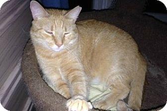 Domestic Shorthair Cat for adoption in Ephrata, Pennsylvania - Jinx