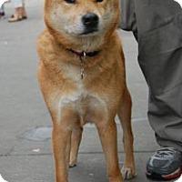 Adopt A Pet :: Kumo - Brooklyn, NY